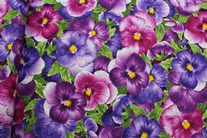 Viola Large Packed Pansies Purple